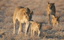 Lioness and cubs>